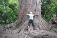 Hugging the Big Tree, Peel Forest