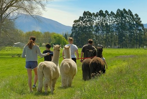 Alpaca Walks, Geraldine