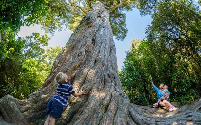 Big Tree, Peel Forest, Geraldine, New Zealand